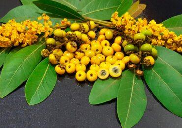 Murici:  O fruto brasileiro e suas propriedades